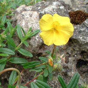 Rock Rose (Helianthemum nummularium)