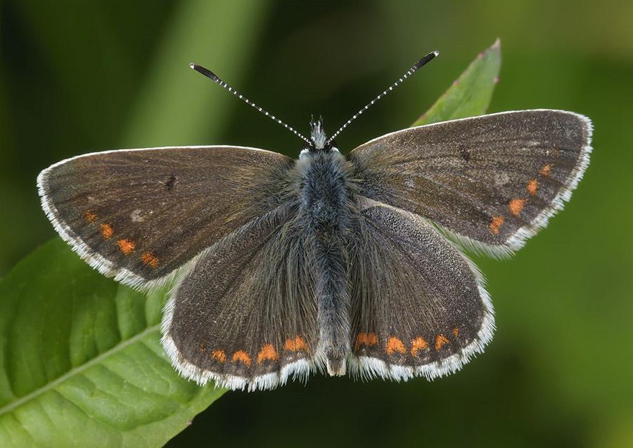 Durham Argus (Aricia artaxerxes)